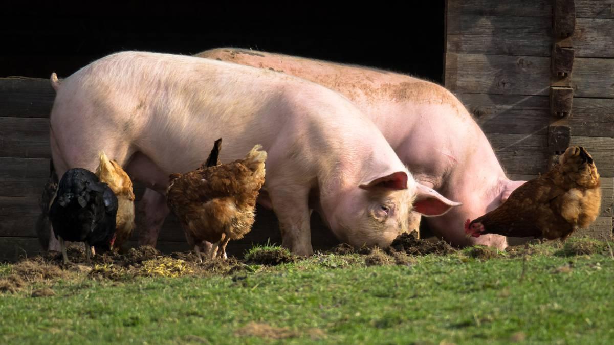 triquina en carne cerdo