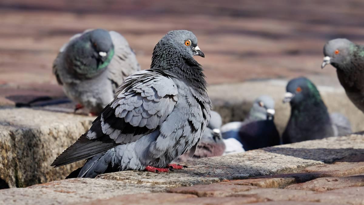 Las palomas de enfermedades