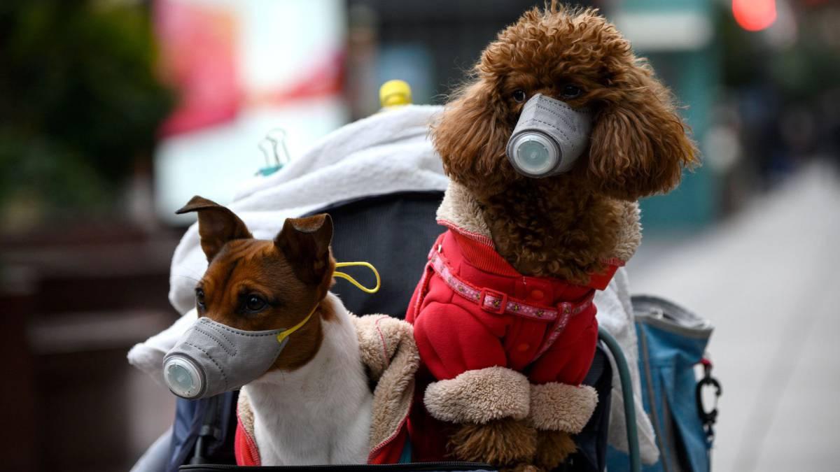 Coronavirus y mascotas: ¿debo preocuparme por un posible contagio? - AS.com