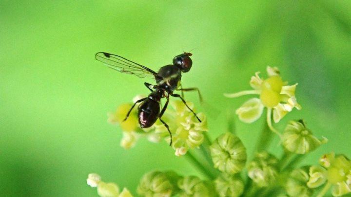 Los insectos pierden su capacidad voladora por el viento, tal cómo ya dijo  Darwin - AS.com