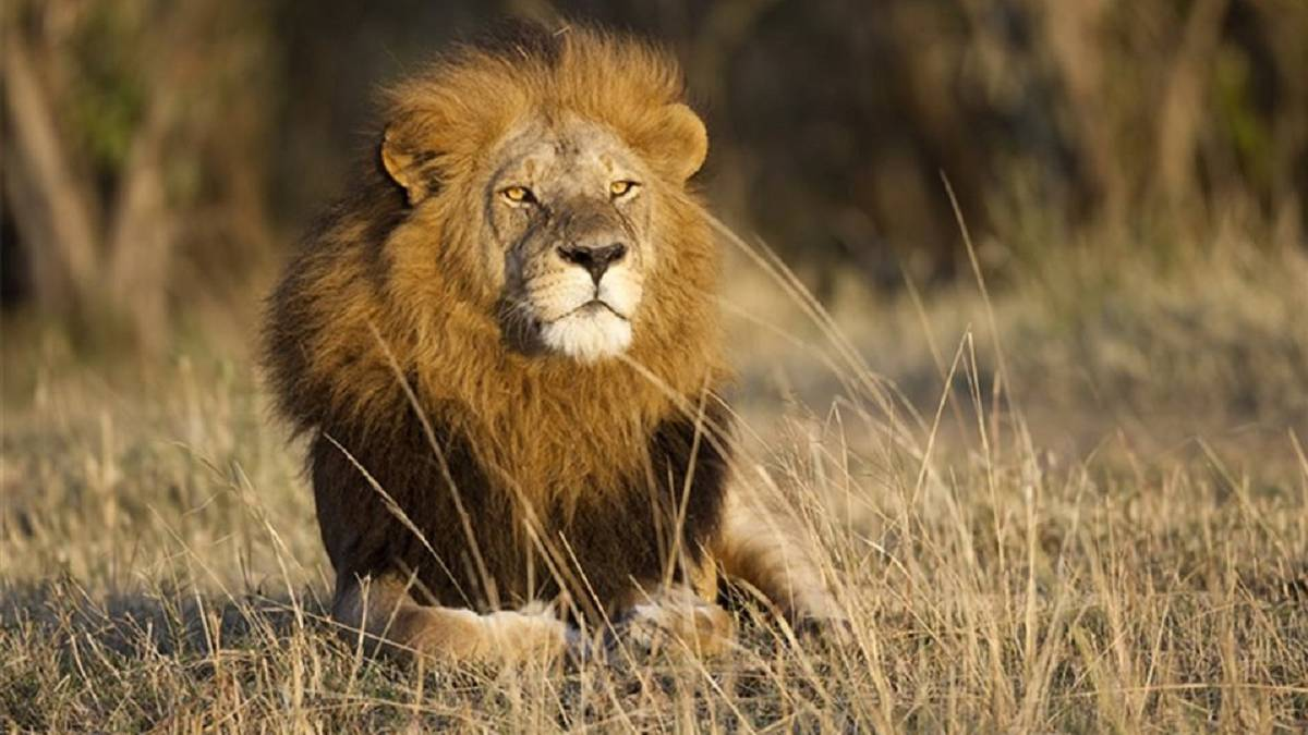 3 hechos sobre leones