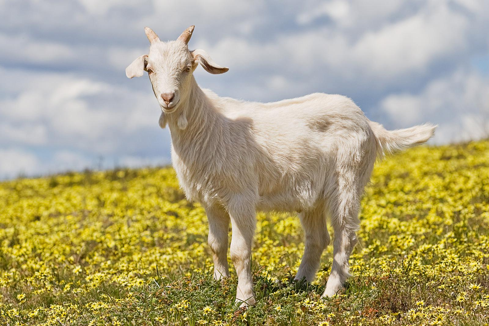 Resultado de imagen de una cabra